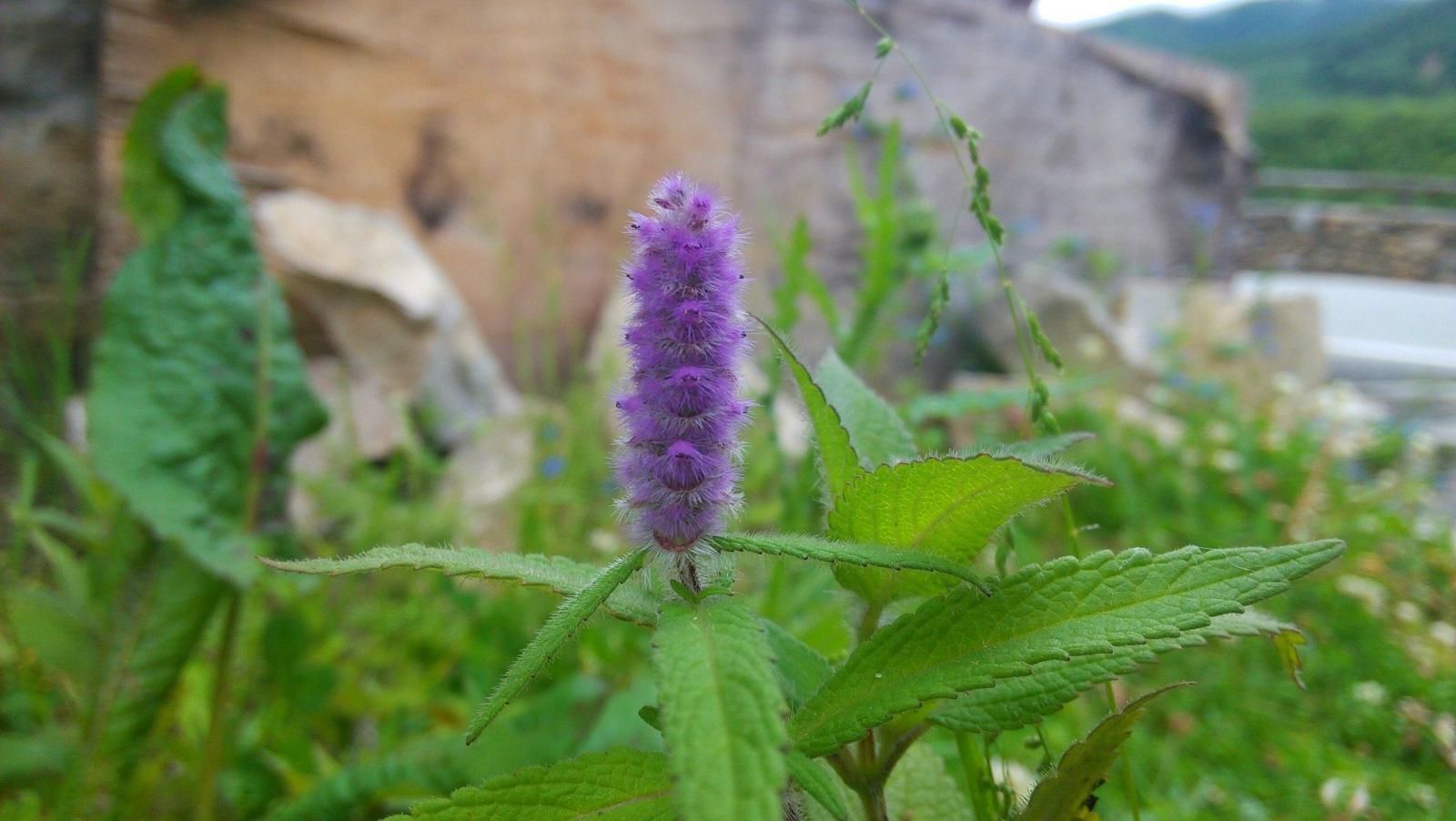 紫色的狗尾巴草?