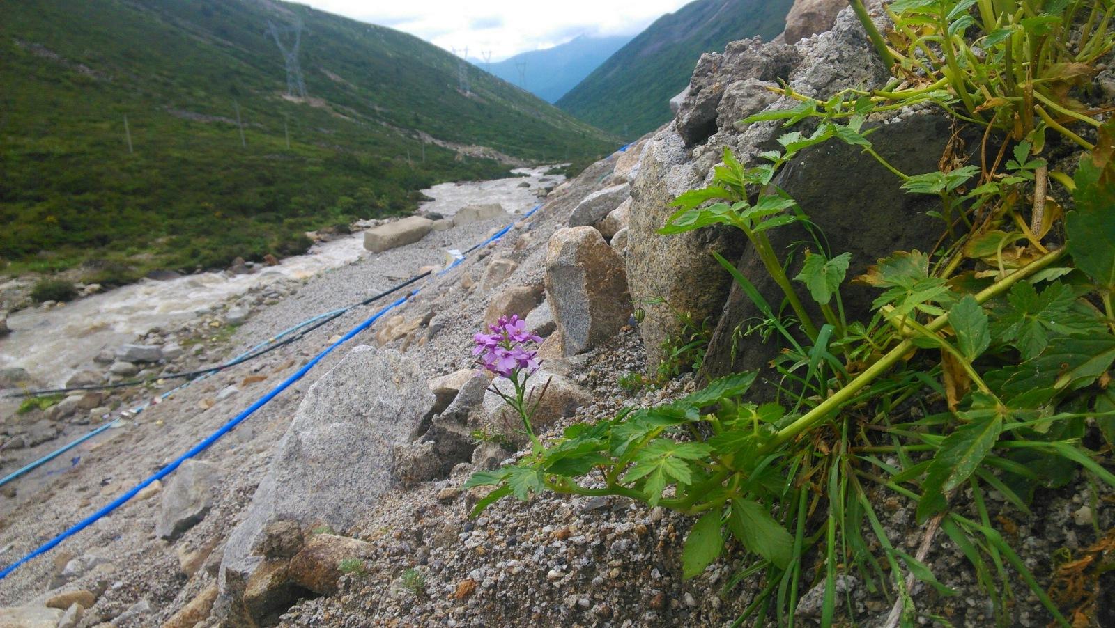 这荒山野岭的石坡上,居然有朵花儿!不小心被我看到了哈哈
