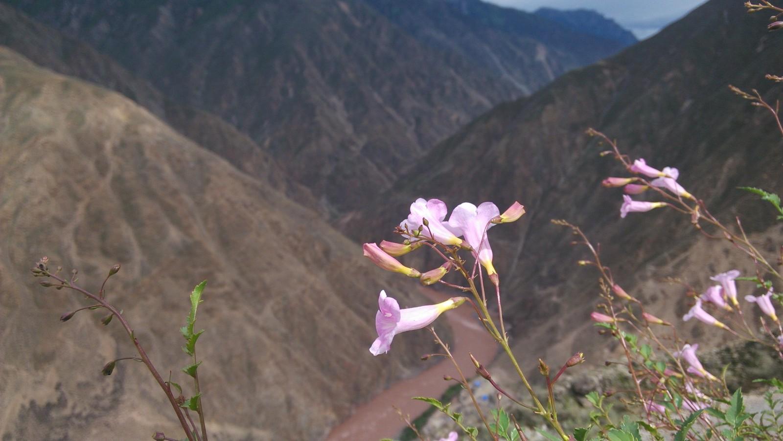 生长在悬崖边上的喇叭花,身处绝境且不忘呐喊