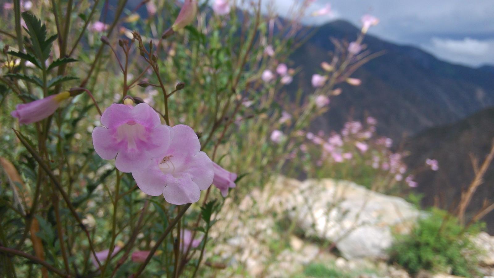 悬崖上的喇叭花