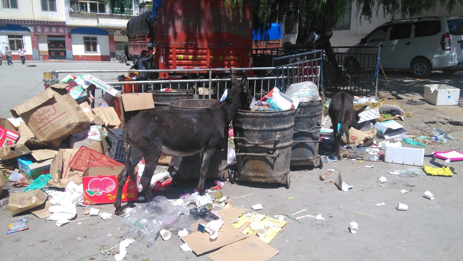 可怜的驴儿们没吃的只能来翻垃圾桶
