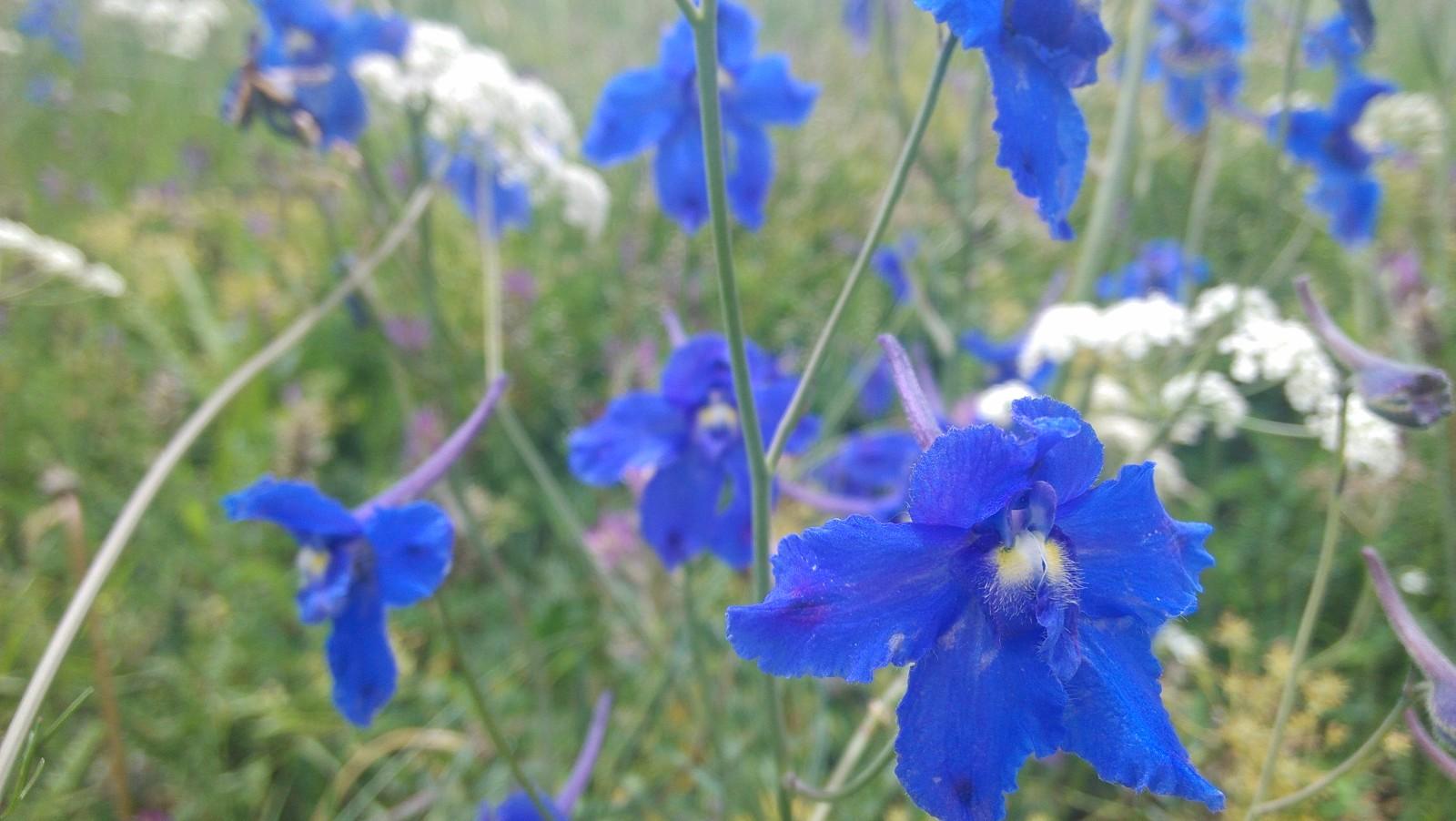 蓝色的花儿