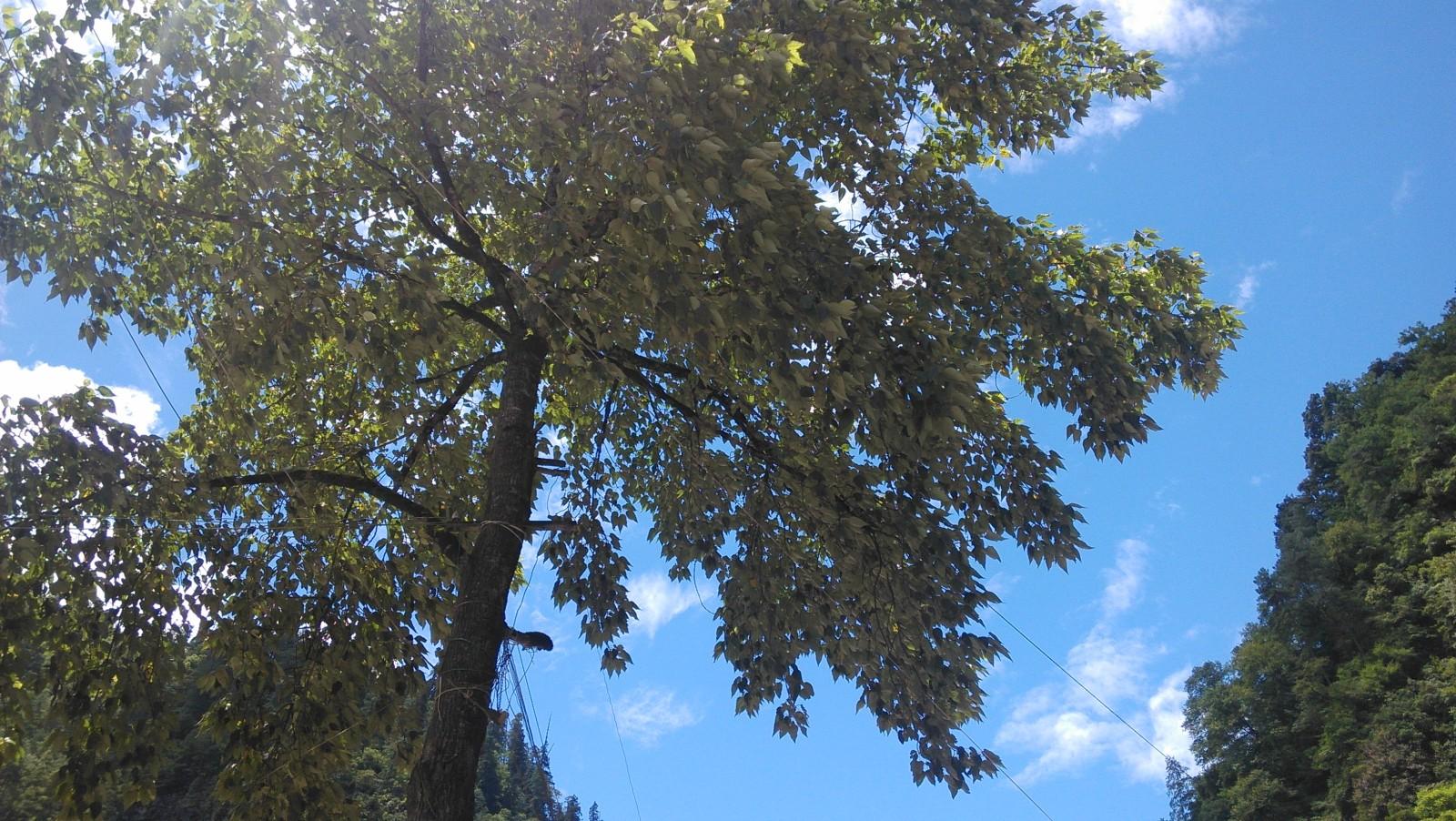 雄伟的树,撑起一片阴凉