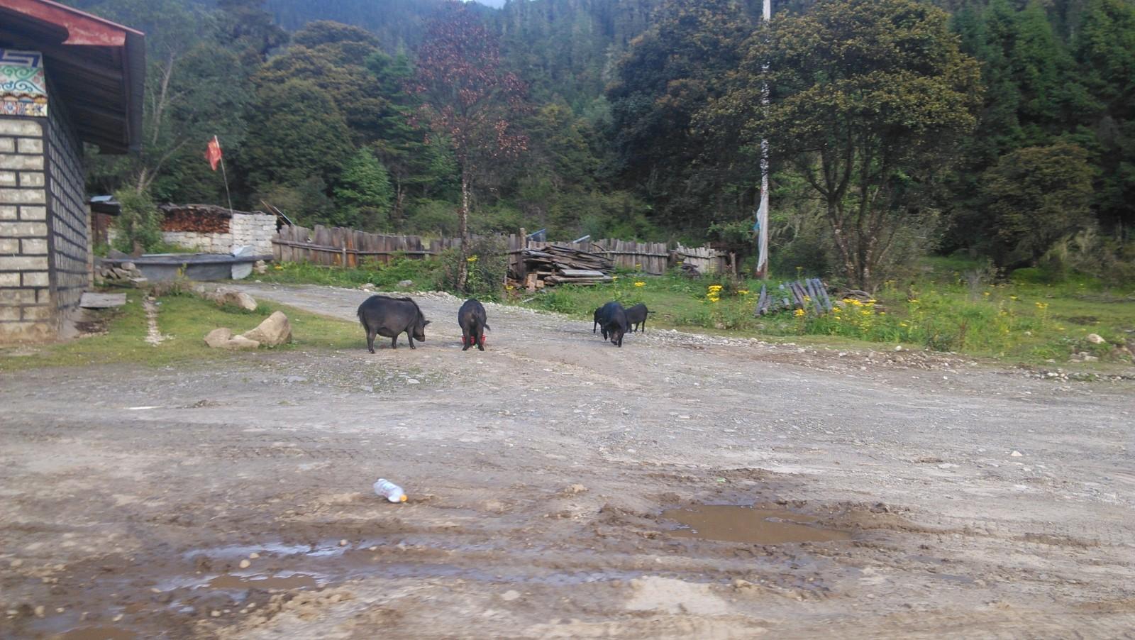几头猪在路上散步