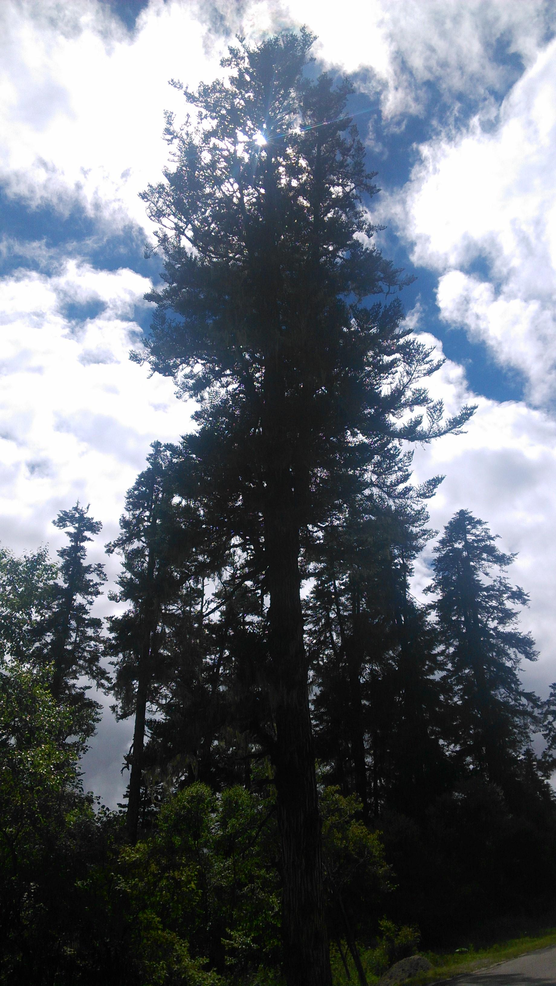 非常粗壮的一颗老树